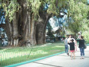 The fattest tree on earth, Oaxaca.